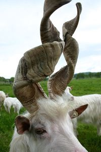 400px-goat_with_spiral_horns